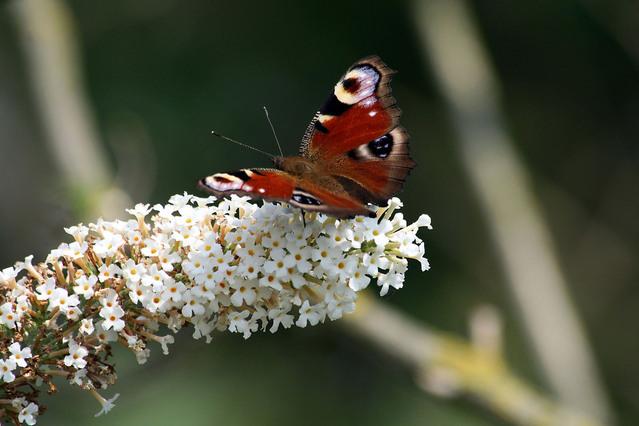 butterfly-1172708-639x426