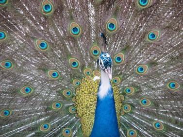 peacock-1192468-640x480