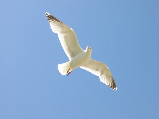 seagull-flying-1256146-640x480