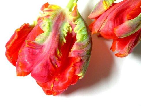 close-up-of-tulip-heads-1531601-640x480